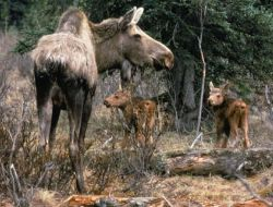 Moose cow with two calves Photo