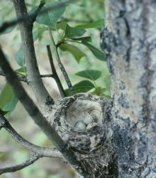 Yellow warbler nest with eggs Photo