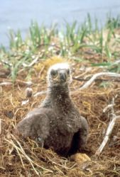 Bald Eagle Chick Photo