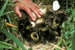 Aleutian Cacklling Goose Capture and Translocation,1978 - 1991 (Album) Photo
