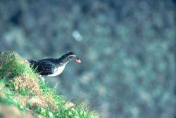 Parakeet Auklet Photo