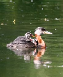 Red-necked Grebe with Young Photo
