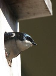 Tree Swallow Profile in Nest Box Photo