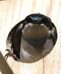 Tree Swallow in box Photo