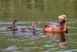Horned Grebe with Young Photo