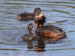 Horned Grebe Feeding Chick Photo