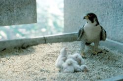 Peregrine Falcon Chicks, Female Photo
