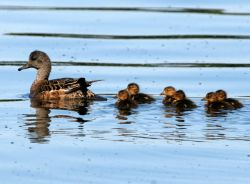 American Wigeon Brood Photo