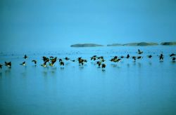 Canada Geese Flying Low Over Water Photo