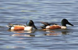 Northern Shoveler Drakes Photo