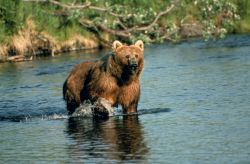 Brown Bear in Creek Photo