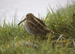 Common Snipe or Wilson's Snipe Photo