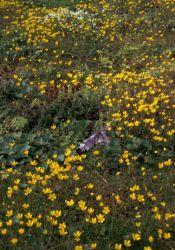 Hall Island wildflowers, Bog Saxifrage Photo