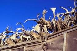 Kotzebue Caribou Antlers on Rooftop Photo