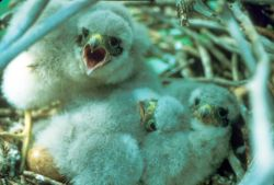 Merlin Chicks in Nest Photo