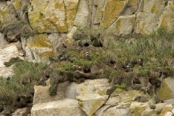 Tufted Puffin burrows, Castle Rock Photo