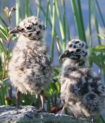Mew Gull Chicks Photo