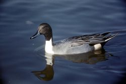 Northern Pintail Duck Male Photo