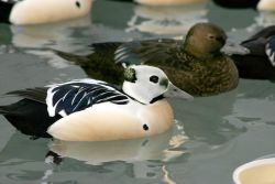 Steller's Eider Male and Females Photo