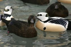 Steller's Eider Males and Females Photo