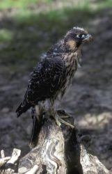 Young Peregrine Falcon Photo