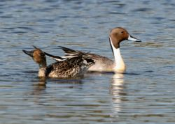 Northern Pintail Pair Photo