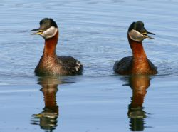 Red-necked Grebe Pair Photo