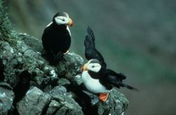 Horned Puffin Pair on Rocks Photo