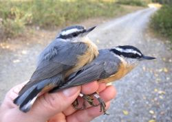 Red-breasted Nuthatch Juvenile and Adult in Hand Photo