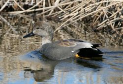 Gadwall Drake Photo