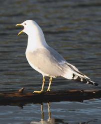 Mew Gull Calling Photo