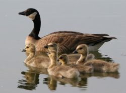 Lesser Canada Goose Brood Photo