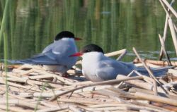 Arctic Terns Photo