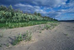 Koyukuk River Shoreline Photo