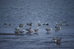 Emperor Geese at Shoreline Photo