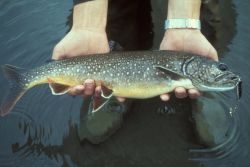 Lake Trout Photo