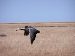 Emperor Goose in Flight - Close View Photo