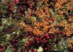 Bearberry and Dwarf Birch Photo