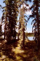 Boreal forest at Scoter Lake Photo