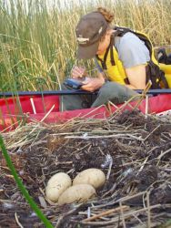 Collecting data on a swan nest Photo