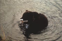 Brown Bear with Fish Photo