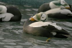 Spectacled Eider Males Photo