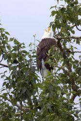 Bald Eagle in Tree Photo