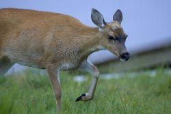 Sitka Black-tailed Deer Photo