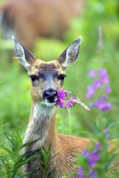 Sitka Black-tailed Deer with Fireweed Photo
