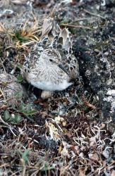 Baird's Sandpiper on Nest Photo
