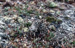 Baird's Sandpiper Camouflaged Photo