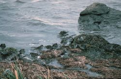Rock Sandpipers at Shoreline Photo