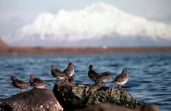 Rock Sandpipers at Rocky Shoreline Photo