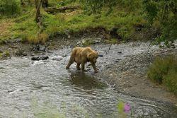 Brown Bear at River's Edge Photo